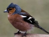 Newcomers Projected Images - HC - Chaffinch by Gordon Cumming