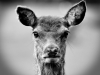 Advanced Monochrome  Prints - Third - The Lone Fawn by Carrie Calvert