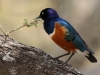 Newcomers Projected Images - HC - Superb Starling by Don Jary