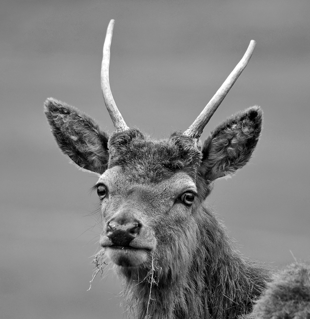 Advanced Monochrome Prints - First - Young Buck by Carrie Calvert