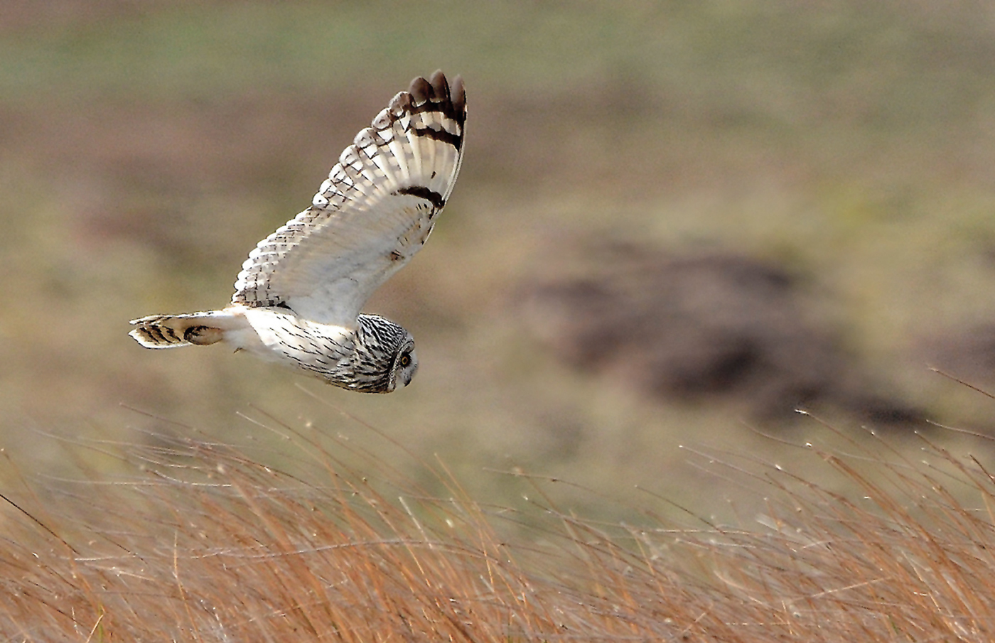 Advanced Projected Images - First - Low Flying Short Eared Owl by Carrie Calvert