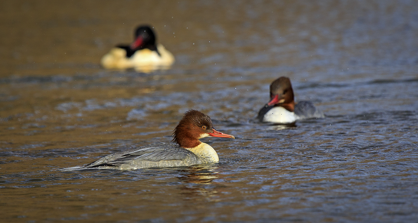 Advanced Projected Images - HC - Goosander on the Hunt  by Alan Thomson