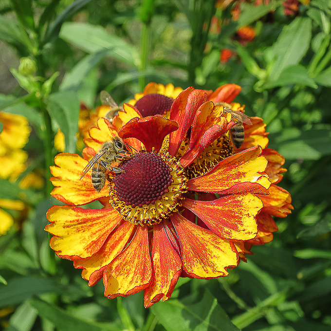 Advanced Projected Images - HC - Helenium And Bees by Karen  McLellan