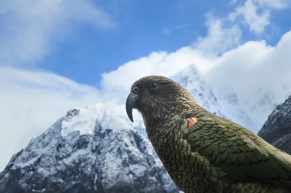 Advanced Projected Images - HC - The World's Only Alpine Parrot by  Karen McLellan