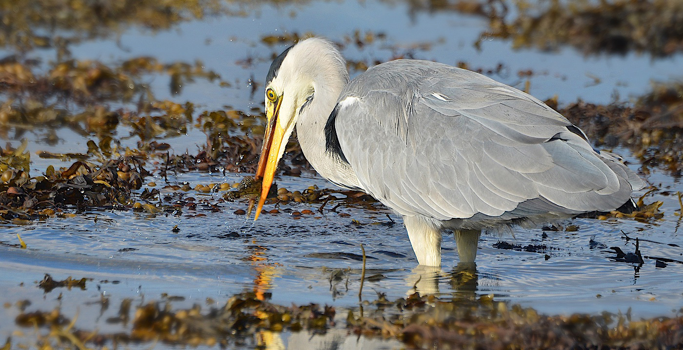 Advanced Projected Images - Second - Grey Heron Catch Of The Day by Carrie Calvert