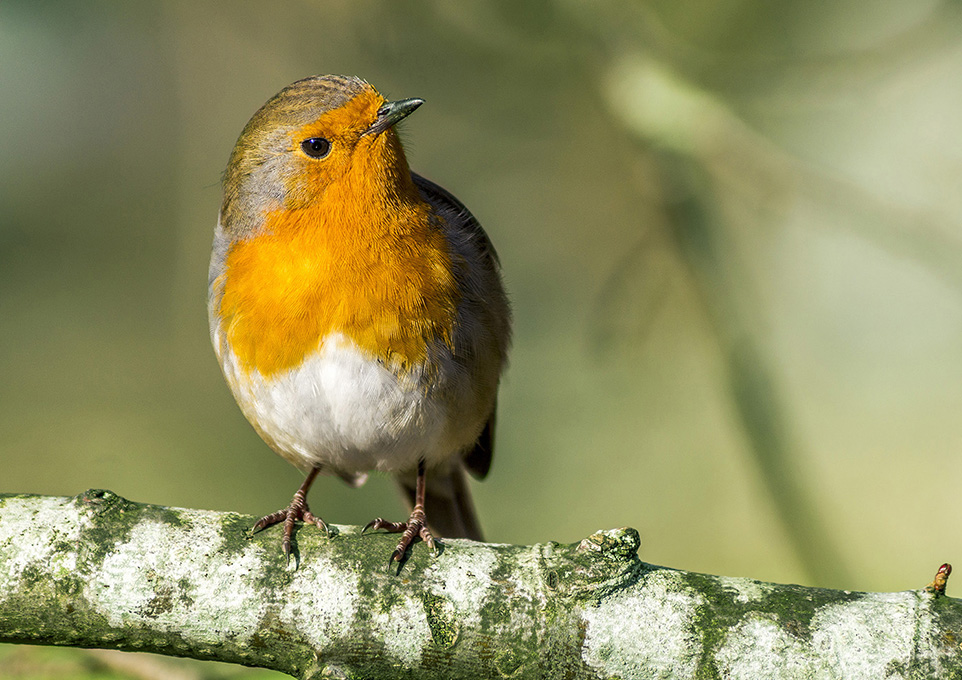 Newcomers Prints - Second - Robin Of Langdale by Trevor Wright