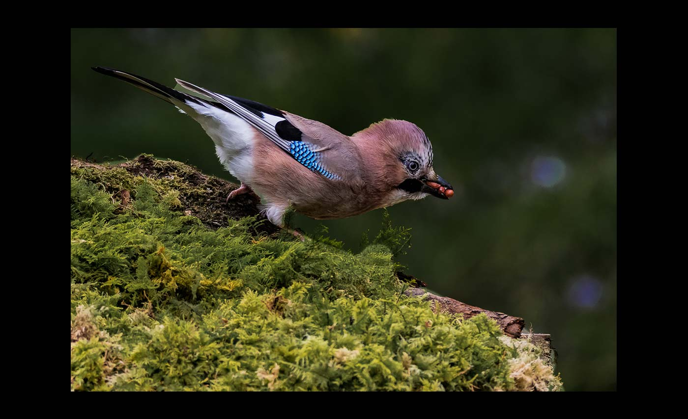 Advanced Colour Prints - C - Jay Feeding by Steve McLellan
