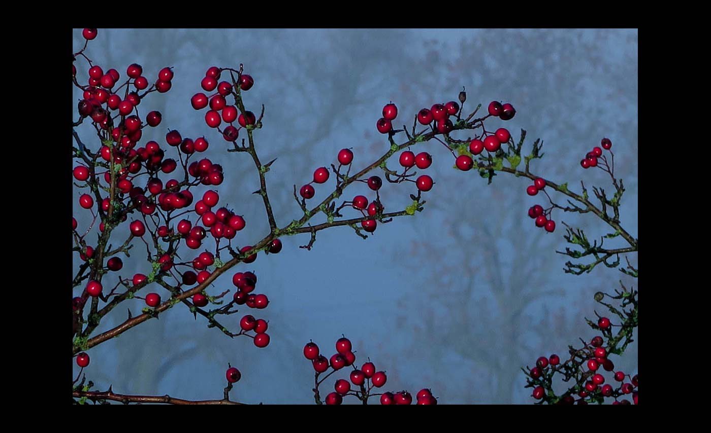 Club Projected Images - C - Winter Berries by Malcolm Iredale