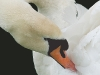 Beginners Projected Images - Third - Swan Preening by Steven Morris.jpg