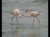 Advanced Projected Images - HC - Pretty Flamingo by Alan Sawyer