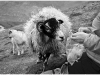 Advanced Monochrome Prints - Second - The Case Of The Curious Sheep by Alan Thomson