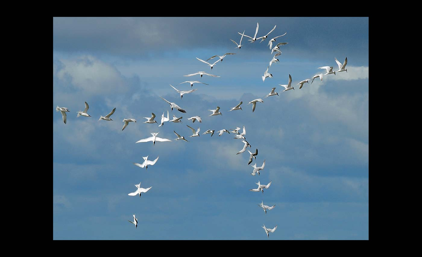 Advanced Projected Images - C - Turning Terns by Roger Mepsted