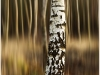 Advanced Colour Prints - First - Birch Tree by Alan Thomson (January 2012)