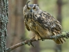 Advanced Projected Images - First - Long Eared Owl by Ian Jolly (January 2012)