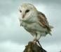 Newcomers Projected Images - HC - Barn Owl by Chris Scott