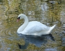 Newcomers Projected Images - First - Swan Reflections by Lyndsay Goodfellow