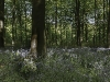 Advanced Projected Images - HC - Bluebell Wood by Jeff Saunders
