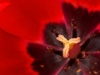 Advanced Projected Images - HC - Tulip Stamen by Jeff Saunders
