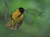 Advanced Coloured Prints - HC - Weaver Birds by Ashley French