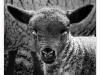 Advanced Monochrome Prints - Third - Damien The Lamb by Alan Sawyer (January 2017)