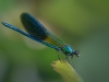 Advanced Projected Images - HC - Male Beautiful Demoiselle by Alan Sawyer