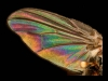 Advanced Projected Images - First - Refraction On The Wing Of A Fly by Roger  Mepsted