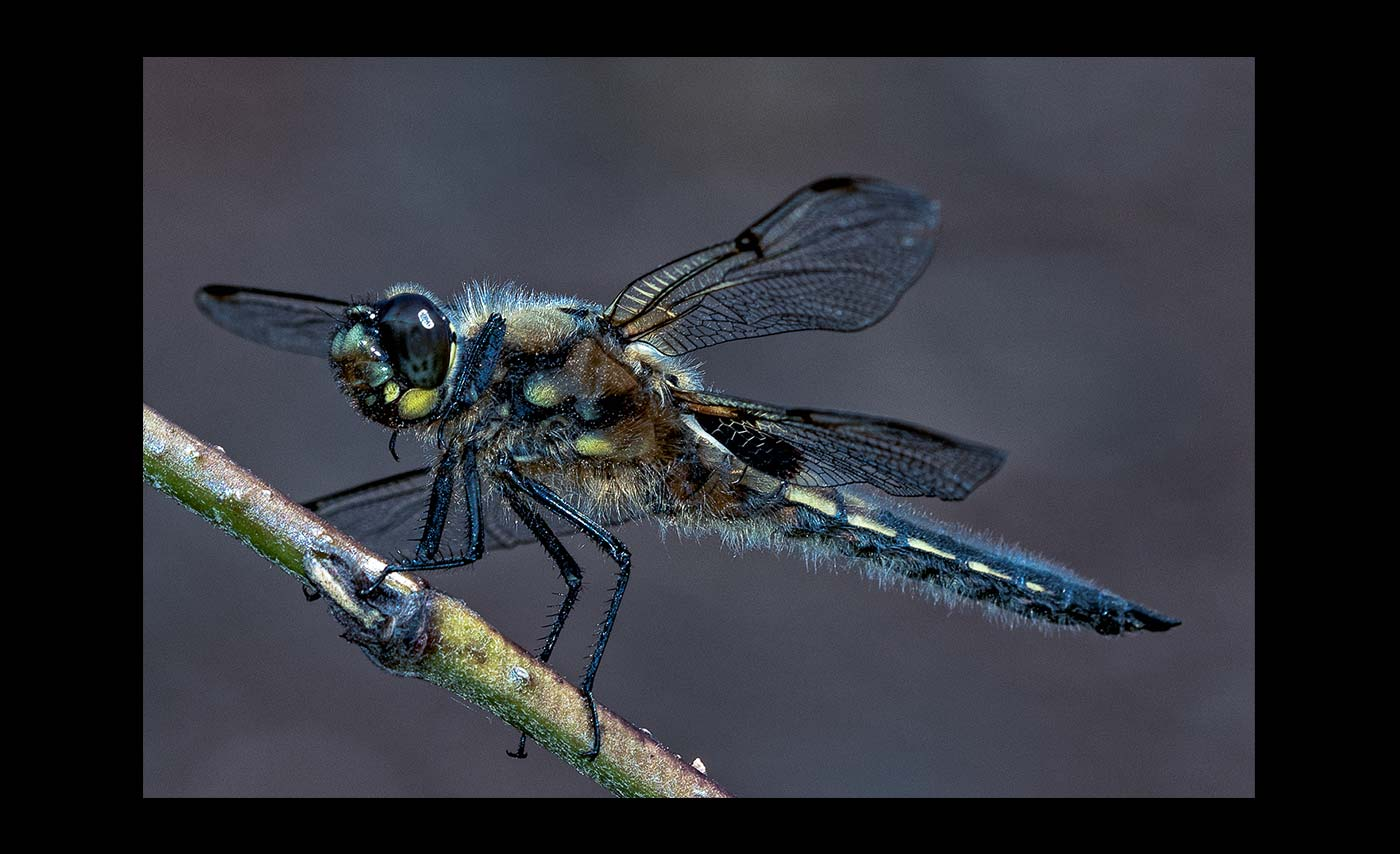 Advanced Colour Prints - Third - Female Chaser Dragonfly by Steve McLellan