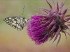 Advanced Colour Prints - HC - Marbled White Butterfly by Alan Sawyer
