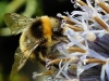 Newcomers Prints - Second - Bumblebee on Flower by Graeme Fyfe