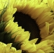 Newcomers Prints - First - Sunflower by Lyndsay Goodfellow