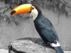 Newcomers Projected Images - HC - Toucan by Lyndsay Goodfellow