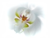 Advanced Colour Prints - HC - Orchid by Lawrence Graham