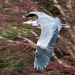 Advanced Projected Images - HC - Grey Heron by Tim Booth (November 2012)