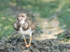Advanced Colour Prints - Third - Turnstone by Alan Sawyer (November 2012)