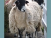 Newcomers Prints - Third - Sheep Worrying by Karen McLellan