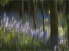 Advanced Projected Images - HC - Bluebell Wood by Alan  Thomson