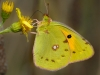 Advanced Projected Images - HC - Clouded Yellow Butterfly by Alan Sawyer