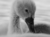 Advanced Monochrome Prints - Second - Cygnet In A Shower by Carrie Calvert