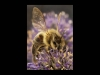 Advanced Projected Images - First - Happy Bee by Roger Mepsted