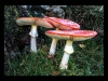 Club Projected Images - HC - Fungi Amanita by Trevor Wright