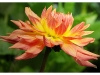 Advanced Projected Images - HC - Dahlia by Larry Graham