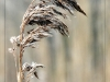 Advanced Projected Images - HC - Grass Reed by Larry Graham