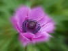 Advanced Projected Images - Second - Peony by Larry Graham