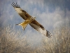 Advanced Projected Images - First - Red Kite In Flight - by Alan Thomson