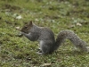 Newcomers Prints - HC - Grey Squirrel by Peter Lord