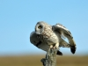 Advanced Colour Prints - HC - Short Eared Owl On The Dawn Hunt by Carrie Calvert