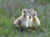 Advanced Colour Prints - Second - Greylag Goslings Looking For Mum by Carrie Calvert