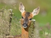 Advanced Projected Images - HC  - Inquisitive Fawn by Carrie Calvert