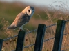 Advanced Projected Images - Second  - Barn Owl At Dawn by Carrie Calvert