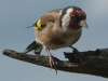 Newcomers Projected Images - Second - Goldfinch by Don Jary